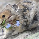 The American Pika and Climate Change