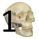 In this lesson you will get to know 160 of the most important bones in the human body by means of pictures. Part 1 of 2